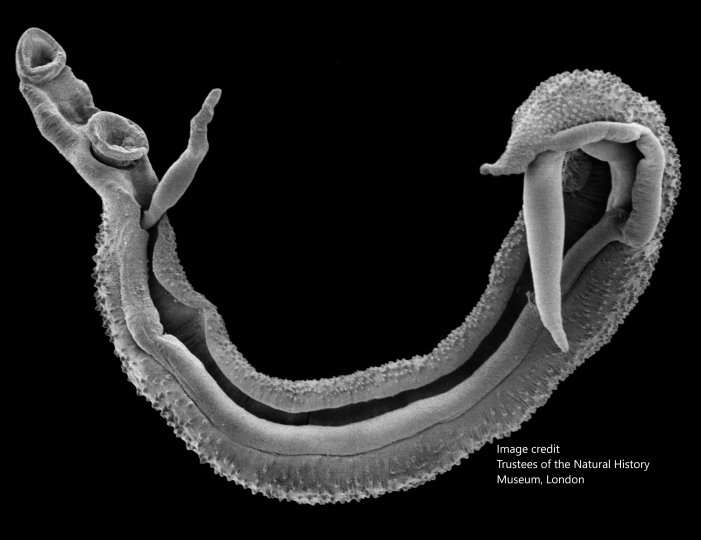 Scanning electron microscope of S. nasale worm pair (cattle schistosome). Image credit Trustees of the Natural History Museum, London