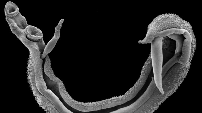 A scanning electron micropscope image of the a schistosome worm pair. Copyight Trustees of the Natural History Museum, London