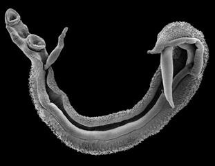 Scanning electron microscope image of a schistosome worm pair